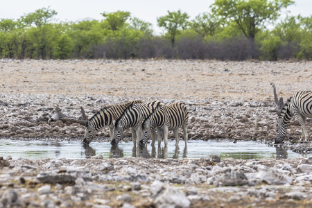 Zebras drinking from waterhole in Etosha Park Stock Photo - 120562485