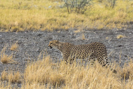 Cheetah in the grass of Etosha Park Namibia