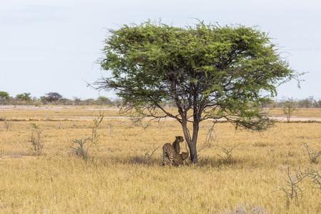 Cheetahs under tree in Etosha Park in Namibia Stock Photo - 120562496