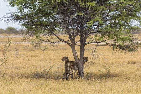 Cheetahs under tree in Etosha Park in Namibia Stock Photo - 120562497