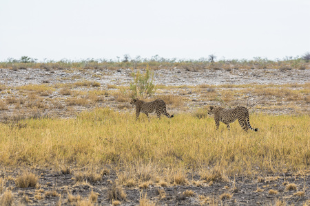 Cheetah in the grass of Etosha Park, Namibia