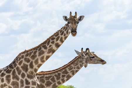Two giraffes in Etosha National Park Stock Photo