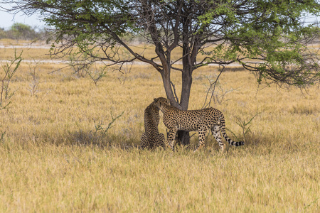 Cheetahs under tree in Etosha Park, Namibia Stock Photo - 120562509