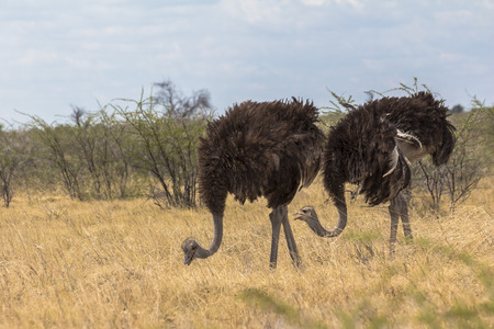 Ostrich in the steppe of Etosha Park, Namibia
