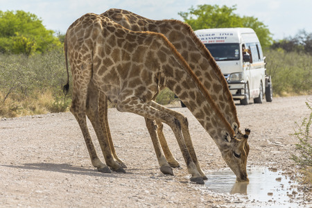 Giraffe drinking water in Etosha Park, Namibia Stock Photo - 120562512