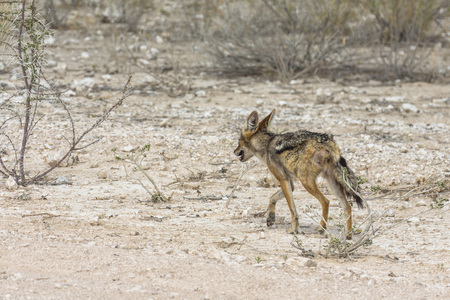 Lonely fox in steppe of Etosha Park, Namibia