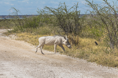 White Wild boar in Etosha National Park, Namibia