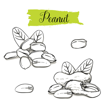 Hand drawn sketch style Peanut set. Single, group seeds, peanut in nutshells group. Organic nut, vector doodle illustrations collection isolated on white background.
