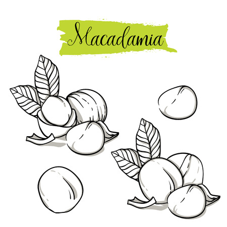 Hand drawn sketch style macadamia set. Single, group seeds, macadamia in nutshells group. Organic nut, vector doodle illustrations collection isolated on white background.