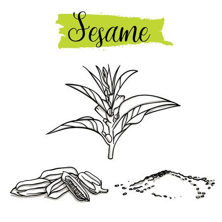 Hermoso sésamo dibujado a mano, semillas. Alimentos orgánicos, colección de ilustraciones de doodle aislado sobre fondo blanco. Ilustración de vector