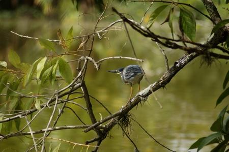 Pretty saracura aves living next artificial lake park
