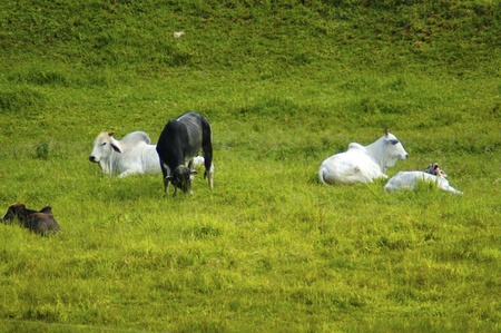 Cow and ox tireding in green planice