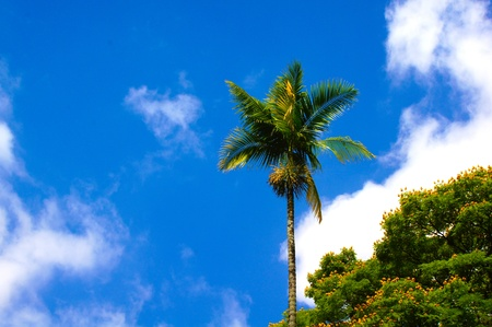 Tropical coconut palm planted in Taubate public square