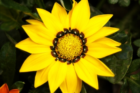 Nice Gardenia flower used in garden