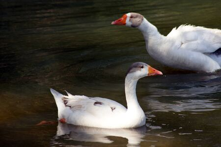 Two pretty geese swing in lake in Taubate city