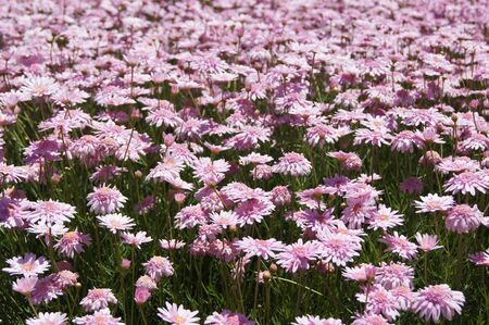 Inumerous pink flowers planted on park city Stock Photo