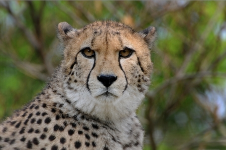 Portrait of a cheetah sitting upright, South Africa