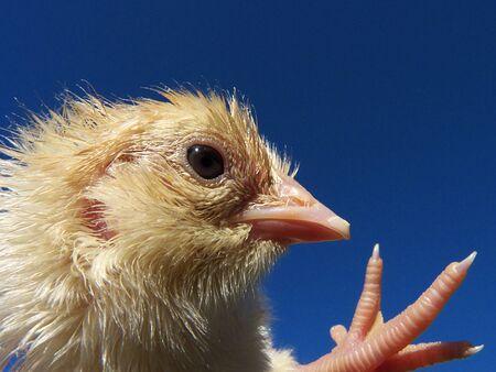 chicken Stock Photo - 9276675