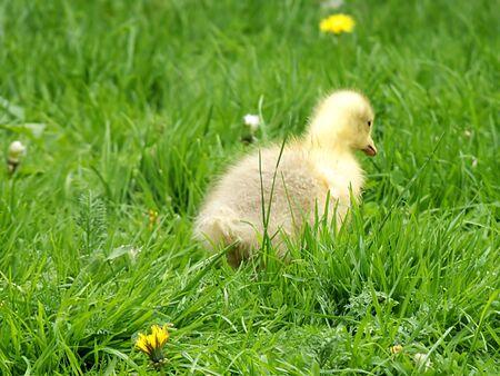 gosling: gosling Stock Photo