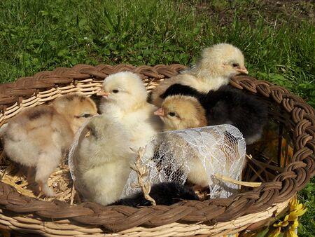 chicken Stock Photo - 9338069