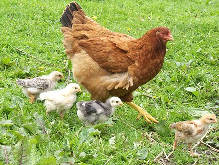 hen with chickens