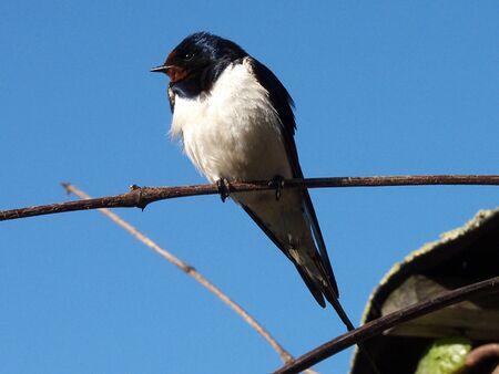 Swallow Stock fotó