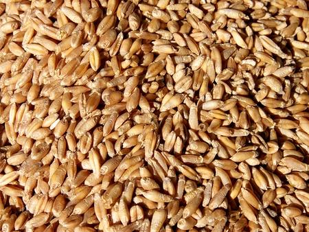 organically: wheat grains grown organically Stock Photo