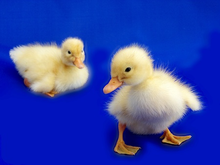 ducklings in blue Stock Photo - 10048531