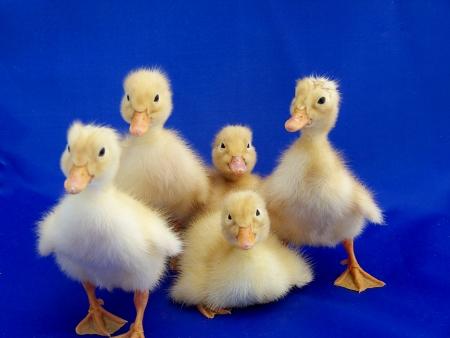 ducklings in blue Stock Photo - 10048539