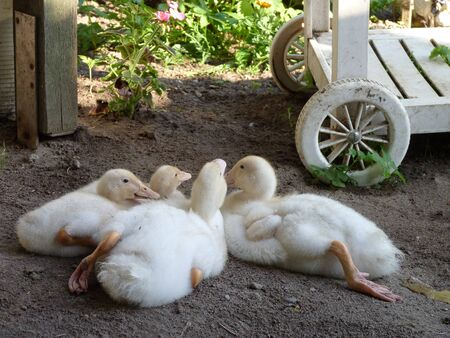 young ducklings photo