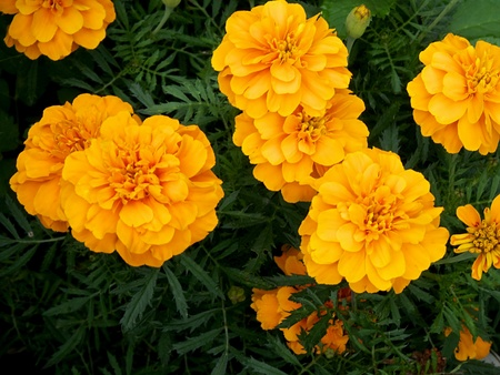 Tagetes a popular balcony  beet plant which blooms all summer photo