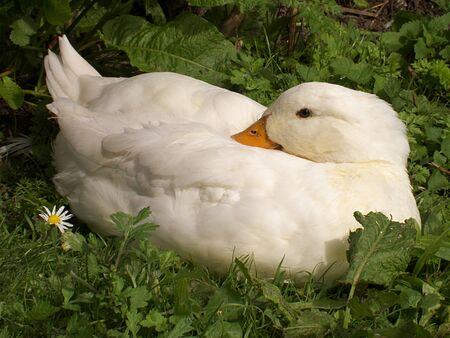 living organic white duck Standard-Bild
