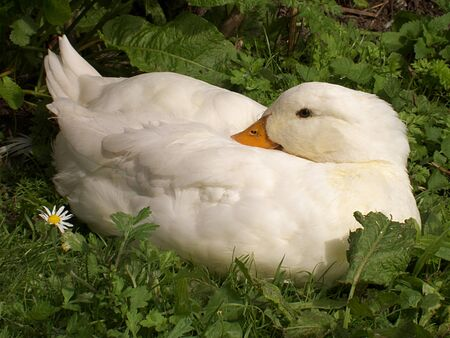 drakes: living organic white duck Stock Photo