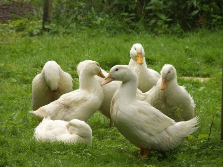 slaughter: duck Stock Photo