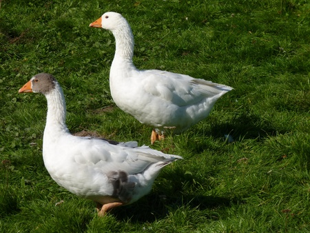 slaughter: geese