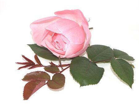 pink  rosewood Standard-Bild