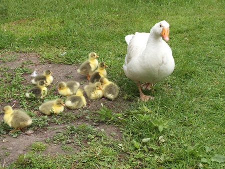 goslings photo