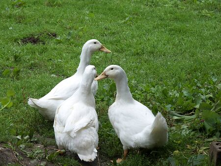 white ducks photo