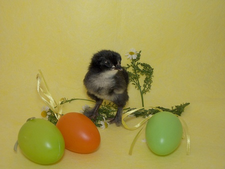 easter chicken and egss photo