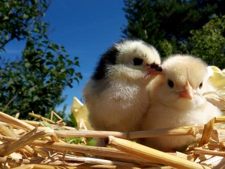 chickens Stock Photo - 11910413