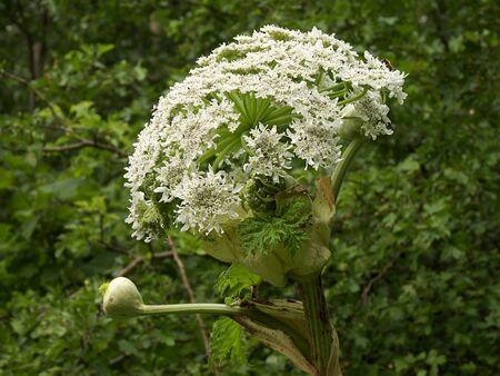 widespread: Heracleum mantegazzianum