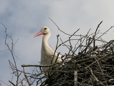 stork wildlife Stock Photo - 11910417