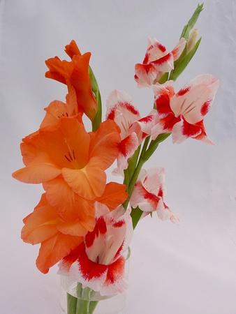 gladioli photo