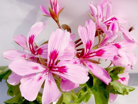 geranium color: geranium