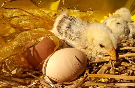 to live easter chicks in nest Stock Photo - 12024367