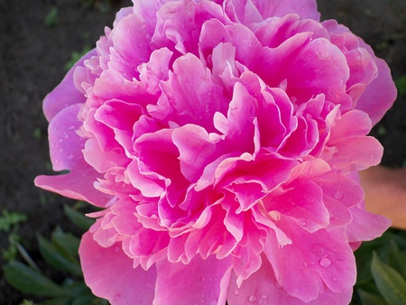 Paeonia photo