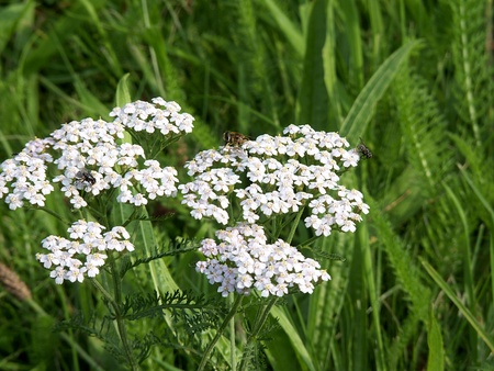 Achillea Stock Photo - 12028273