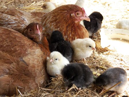 chicks: natural chicken family