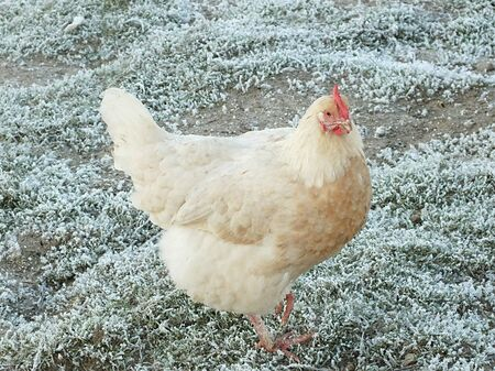 chicken living in the cold winter