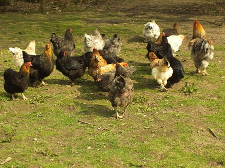 happy chickens live on the farm photo